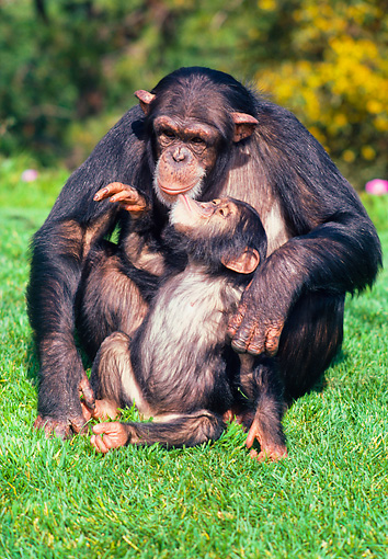 CHI 02 RK0091 01 © Kimball Stock Chimpanzee Baby Kissing Mother Sitting On Grass