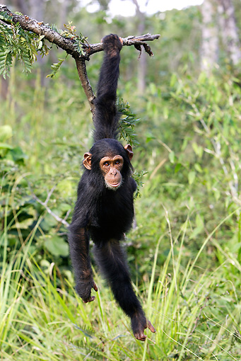 CHI 02 WF0002 01 © Kimball Stock Young Chimpanzee Hanging From Tree Branch