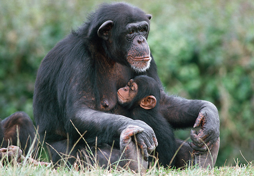 CHI 02 GR0001 01 © Kimball Stock Baby Chimpanzee Hugging Mother Sitting In Grass
