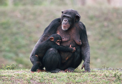 CHI 02 GR0002 01 © Kimball Stock Baby Chimpanzee Hugging Mother Sitting In Grass