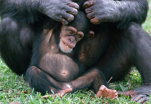 CHI 02 GR0003 01 © Kimball Stock Baby Chimpanzee Being Groomed By Mother Sitting In Grass
