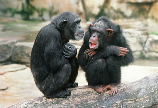 CHI 02 GR0006 01 © Kimball Stock Two Chimpanzees Sitting On Rock