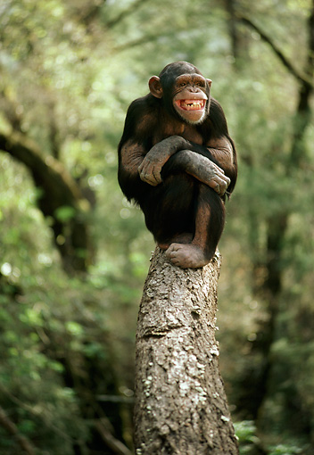 CHI 02 RC0002 01 © Kimball Stock Chimpanzee Relaxing On Tree Branch