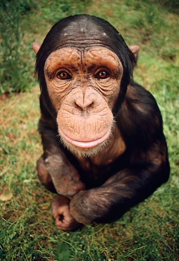 CHI 02 RC0003 01 © Kimball Stock Wide-Angle Shot Of Chimpanzee On Grass Looking Up At Camera