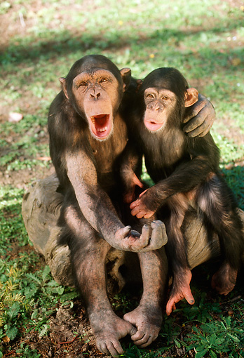 CHI 02 RC0004 01 © Kimball Stock Chimpanzee Adult And Young Sitting On Rock On Grass