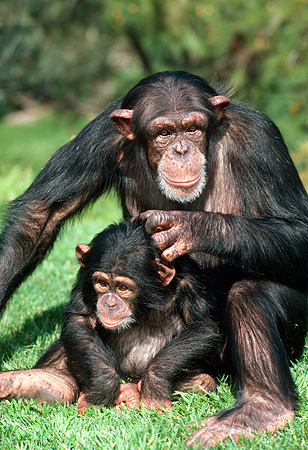 CHI 02 RK0029 11 © Kimball Stock Mother And Baby Chimpanzee Sitting On Grass