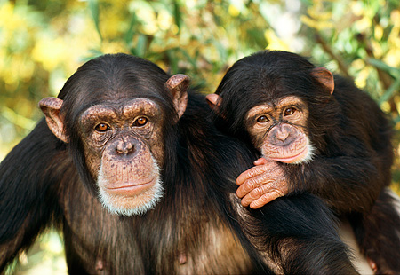 CHI 02 RK0030 15 © Kimball Stock Head Shot Of Mother And Baby Chimpanzee Leaves Background
