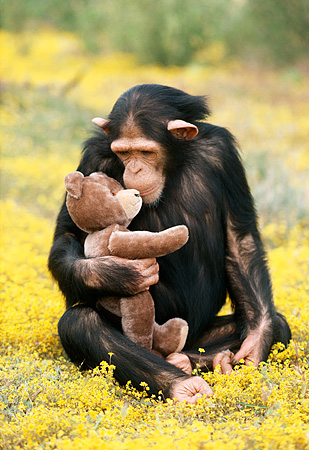 CHI 02 RK0055 02 © Kimball Stock Chimpanzee Sitting In Yellow Flower Field Holding Teddy Bear