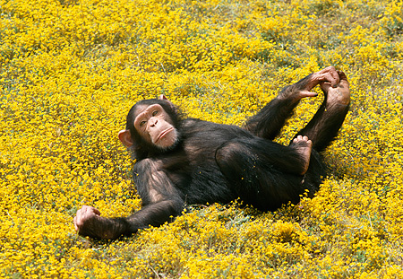 CHI 02 RK0056 01 © Kimball Stock Chimpanzee Laying On Back In Yellow Flower Field