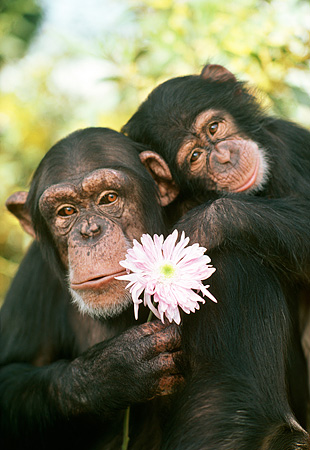 CHI 02 RK0063 12 © Kimball Stock Head Shot Of Mother And Baby Chimps Holding Pink Flower