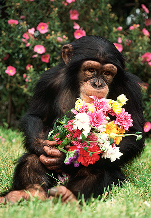 CHI 02 RK0064 13 © Kimball Stock Chimpanzee Sitting On Grass Holding Bouquet Of Flowers