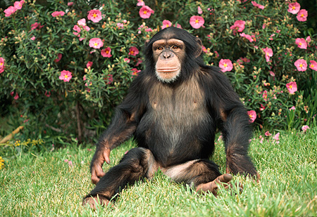 CHI 02 RK0070 01 © Kimball Stock Chimpanzee Sitting On Grass Facing Camera Pink Flower Bush Background