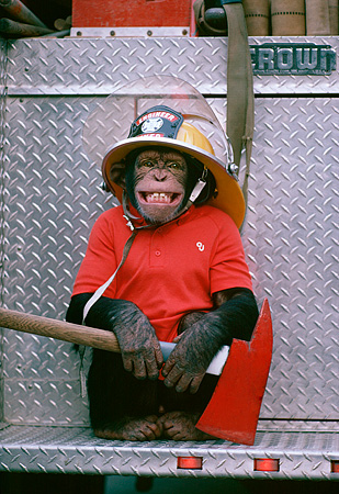 CHI 02 RK0073 02 © Kimball Stock Chimpanzee Wearing Fireman Hat Holding Axe Sitting On Back Of Firetruck