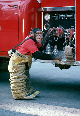 CHI 02 RK0076 01 © Kimball Stock Chimpanzee Wearing Fireman Outfit Standing By Water Pumps