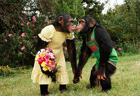 CHI 02 RK0089 02 © Kimball Stock Female And Male Chimp Dressed In Outfit Kissing Flower Bush Background