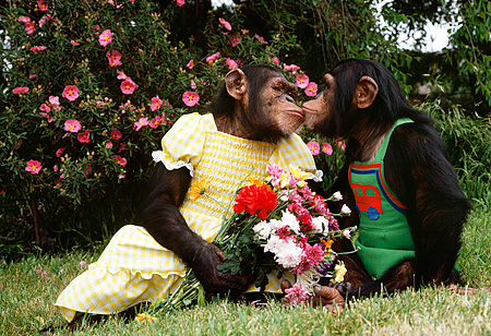 CHI 02 RK0089 17 © Kimball Stock Female And Male Chimp Dressed In Outfit Kissing Flower Bush Background