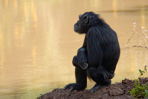 CHI 02 RW0001 01 © Kimball Stock Chimpanzee Sitting Looking Over Watering Hole Kenya