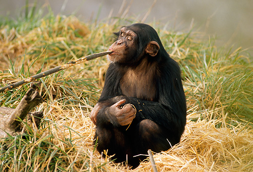 CHI 02 TL0001 01 © Kimball Stock Humorous Chimpanzee Holding Stick In Mouth Sitting On Grass