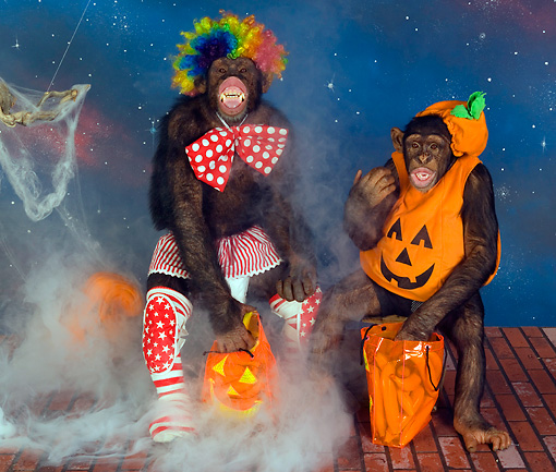 CHI 03 RK0187 01 © Kimball Stock Chimp Or Treat