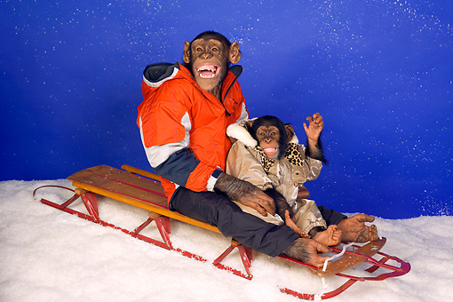 CHI 03 RK0189 02 © Kimball Stock Chimp Sled