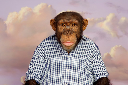 CHI 03 RK0193 01 © Kimball Stock Confused Chimp