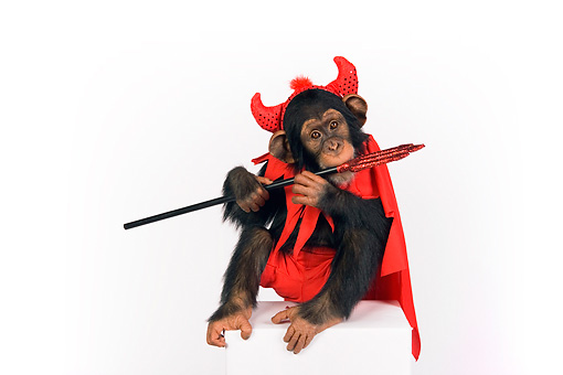 CHI 03 RK0202 01 © Kimball Stock Young Chimpanzee Wearing Devil Costume On White Seamless