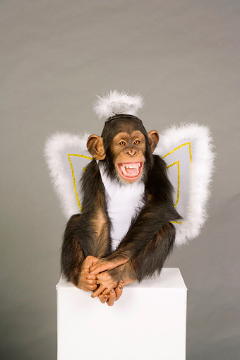 CHI 03 RK0208 01 © Kimball Stock Young Chimpanzee In Angel Costume Studio