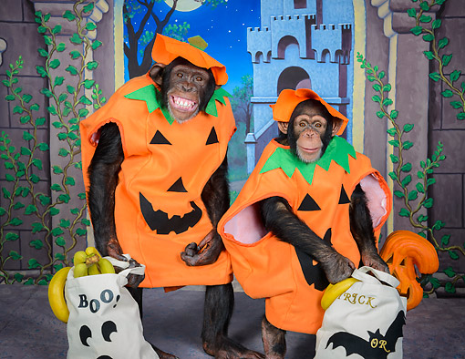 CHI 03 RK1119 01 © Kimball Stock Chimp Or Treat