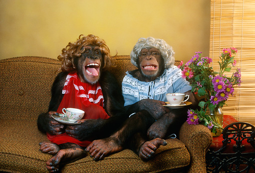 CHI 03 RC0001 01 © Kimball Stock Humorous Chimpanzees Sitting On Couch Having Tea