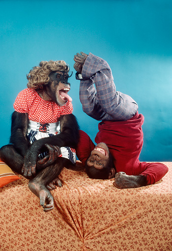 CHI 03 RC0002 01 © Kimball Stock Humorous Chimpanzees Wearing Clothes Studio