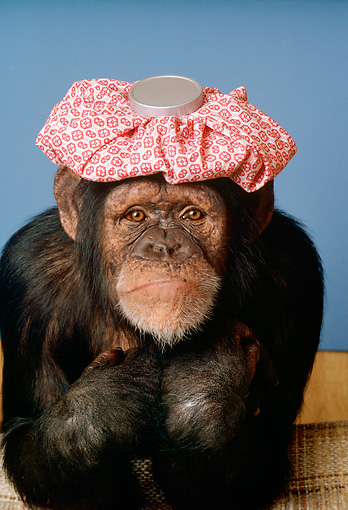 CHI 03 RC0004 01 © Kimball Stock Humorous Chimpanzee Feeling Ill