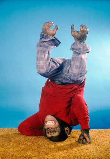 CHI 03 RC0007 01 © Kimball Stock Chimpanzee Standing On Head Wearing Pants And Shirt Studio