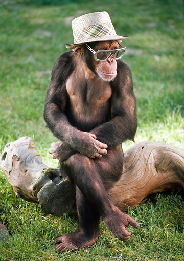 CHI 03 RC0009 01 © Kimball Stock Chimpanzee Sitting On Log On Grass Wearing Hat And Sunglasses Legs Crossed