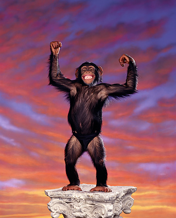 CHI 03 RK0125 02 © Kimball Stock Eddie the Chimp on sunset background