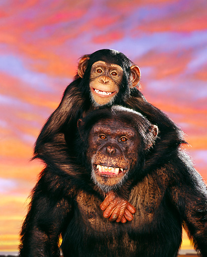 CHI 03 RK0126 01 © Kimball Stock Portrait Of Adult And Young Chimpanzee Smiling