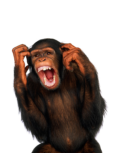 CHI 03 RK0128 01 © Kimball Stock Chimpanzee Scratching Head And Screaming On White Seamless
