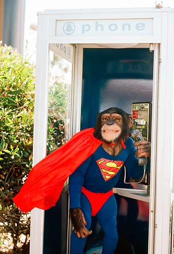CHI 03 RK0129 16 © Kimball Stock Superchimp: Humorous Shot Of Chimpanzee Dressed As Superman In Phone Booth