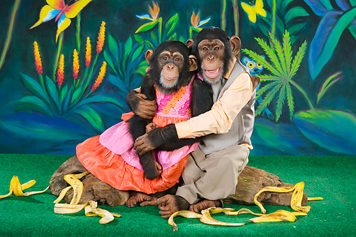 CHI 03 RK0257 01 © Kimball Stock Humorous Chimpanzee Couple Sitting On Log Embracing: Bananas Over You