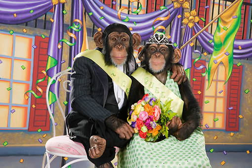 CHI 03 RK0260 01 © Kimball Stock Humorous Homecoming Chimpanzee Couple Sitting On Chairs Embracing: Homecoming Chimp