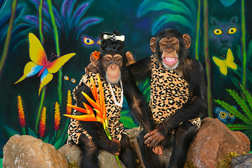 CHI 03 RK0262 01 © Kimball Stock Humorous Tarzan Chimpanzee Couple Sitting On Rocks Embracing: Monkey Love