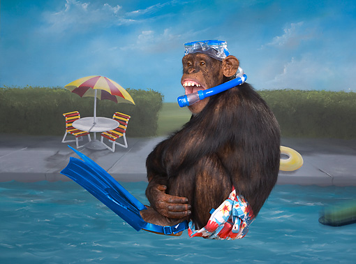 CHI 03 RK0266 01 © Kimball Stock Humorous Chimpanzee Jumping Into Pool: Chimp Dive