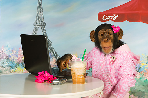CHI 03 RK0269 01 © Kimball Stock Humorous Chimpanzee Relaxing At Cafe: Mocha Chimpachino