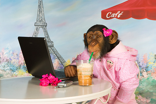 CHI 03 RK0270 01 © Kimball Stock Humorous Chimpanzee Relaxing At Cafe: Mocha Chimpachino