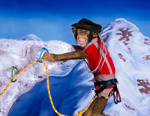 CHI 03 RK0279 01 © Kimball Stock Humorous Chimpanzee Hanging From Cliff: Chimp Climber