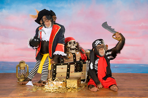 CHI 03 RK0289 01 © Kimball Stock Humorous Pirate Chimpanzees: Chimps Of The Carribean