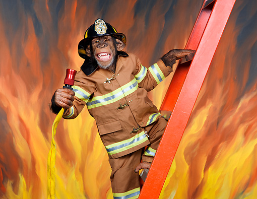 CHI 03 RK0306 01 © Kimball Stock Chimpanzee Climbing Ladder Wearing Fireman's Outfit Holding Hose