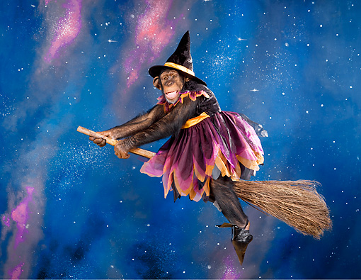 CHI 03 RK0307 01 © Kimball Stock Chimpanzee Witch Riding Broom In Night Sky