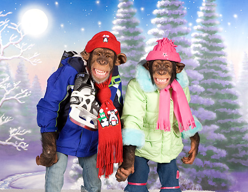 CHI 03 RK0311 01 © Kimball Stock Two Chimpanzees Standing Holding Hands In Winter