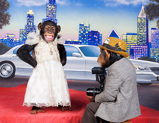 CHI 03 RK0314 01 © Kimball Stock Celebrity Chimpanzee Standing On Red Carpet In White Dress Being Photographed By Press Chimp