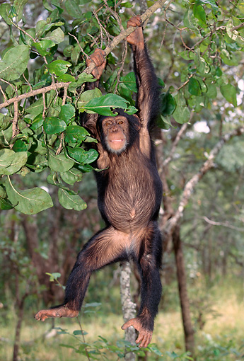 CHI 04 MH0002 01 © Kimball Stock Chimpanzee Hanging From Tree In Savanna Africa